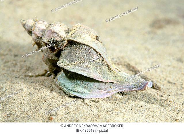 Sea slug, mollusk, (Trophon candelabrum), (Boreotrophon candelabrum), Sea of Japan, Russia Meeresschnecke