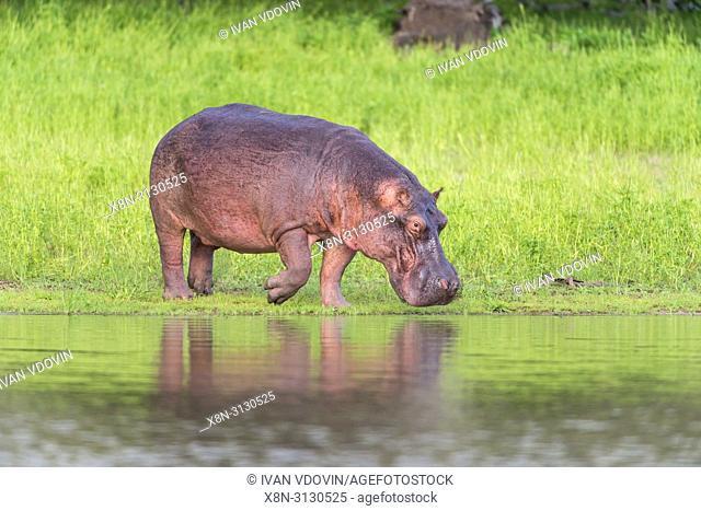 Hippopotamus amphibius, Rufiji river, Tanzania, East Africa