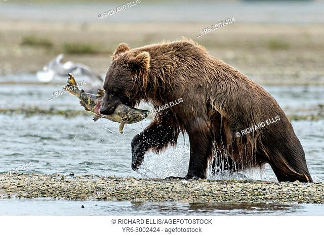 A Brown bear catches a salmon in the lower lagoon at the McNeil River State Game Sanctuary on the Kenai Peninsula, Alaska