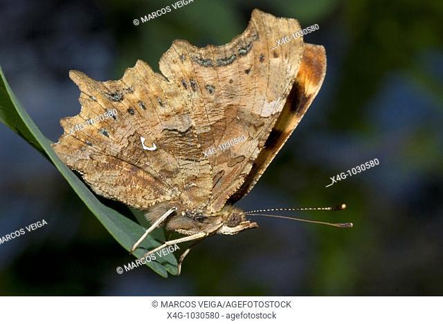 Mariposa c-blanca, Comma butterfly, Polygonia c-album, Pontevedra, España
