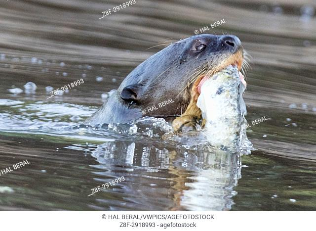 Giant River Otter eating a fish (Pteronura brasiliensis) Pantanal, Brazil