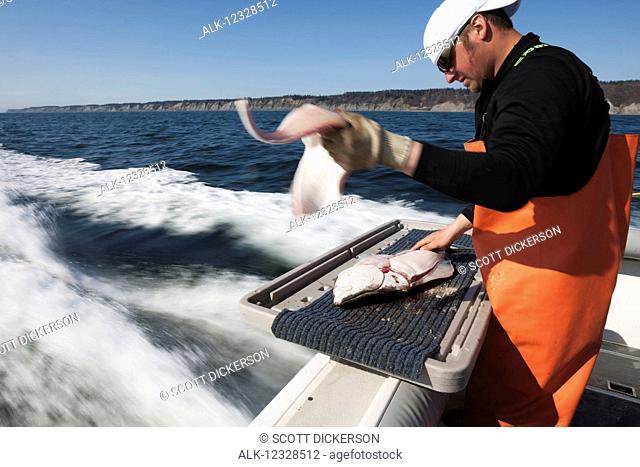 Man flensing a halibut while on a boat, Kachemak Bay, South-central Alaska; Homer, Alaska, United States of America