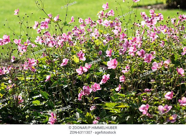 Japanese Anemone Anemone Hupehensis Flower Stock Photos And Images