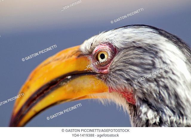 Southern Yellow-billed Hornbill Tockus leucomelas, Mabuasehube, Kgalagadi Transfrontier Park, Botswana