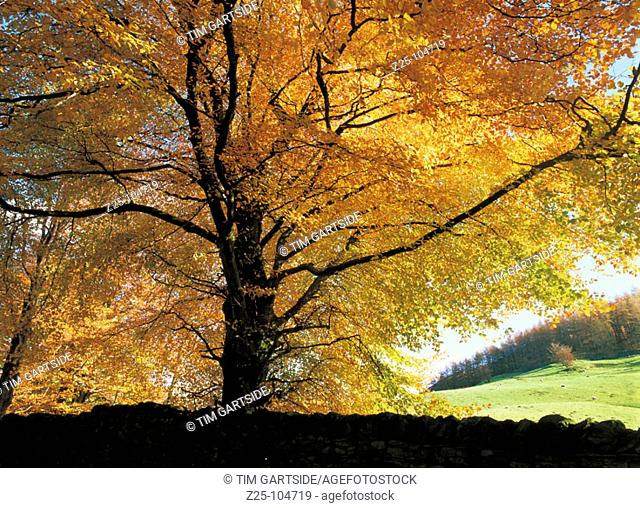 Tree. Grasmere. Cumbria. England