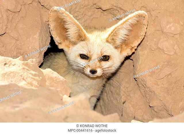 Fennec Fox (Vulpes zerda) looking out of den, Libya