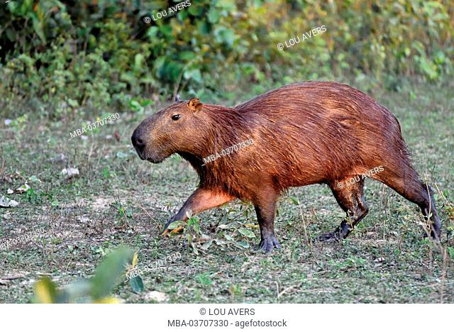 Brazil, Pantanal, Capibara water pig, Hydrochoerus hydrochaeris
