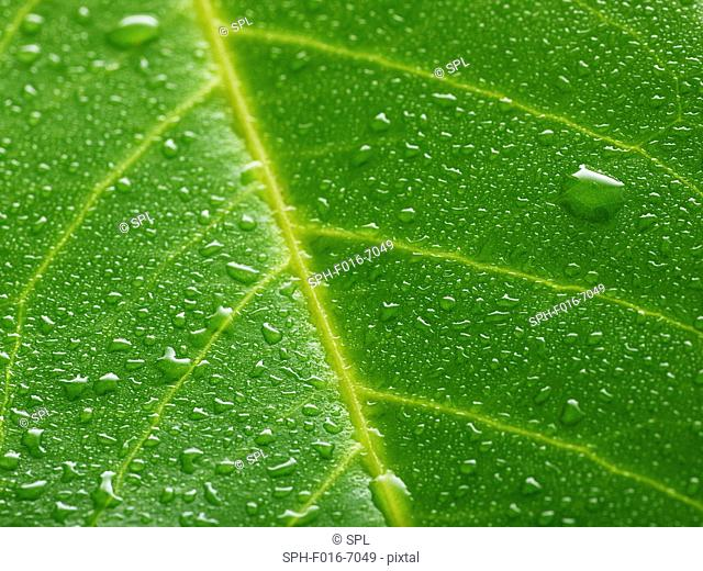 Water lily leaf with water droplets, full frame