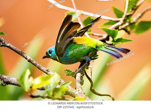 Green-headed tanager spreading its wings to take off