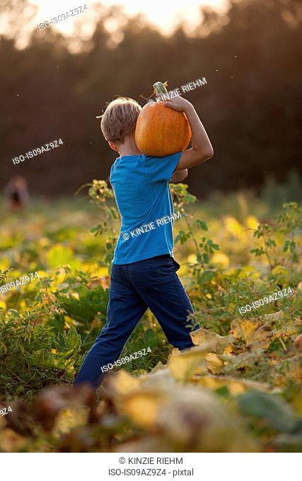 Young boy in pumpkin patch, carrying pumpkin, rear view