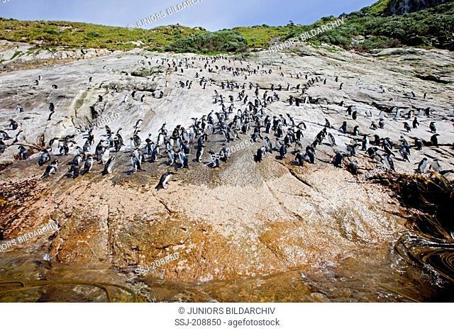 Snares Pinguin (Eudyptes robustus). Penguin slope, used by the birds to enter and leave the island. Snares islands, New Zealand. No exclusive sales !