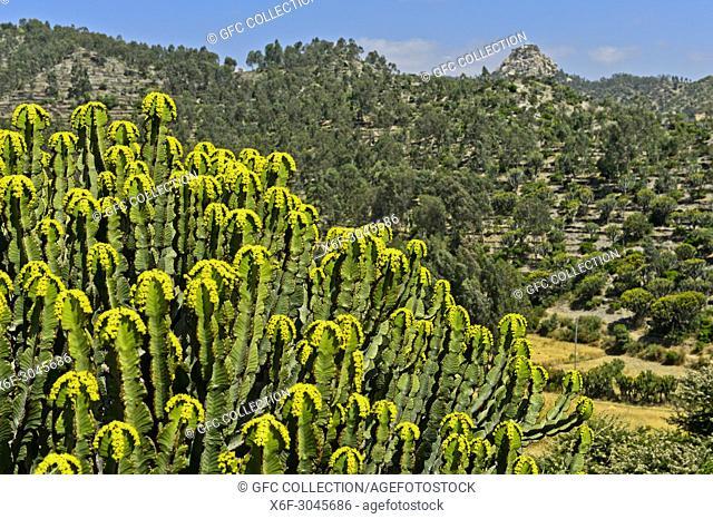 Candelabra tree (Euphorbia candelabrum) with yellow flowers, near Wukro, Tigray, Ethiopia