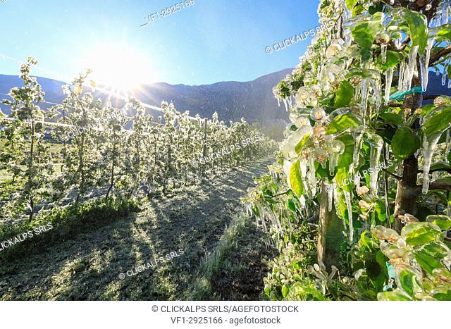 Sun lights up the apple orchards covered with ice in spring Villa of Tirano Sondrio province Valtellina Lombardy Italy Europe