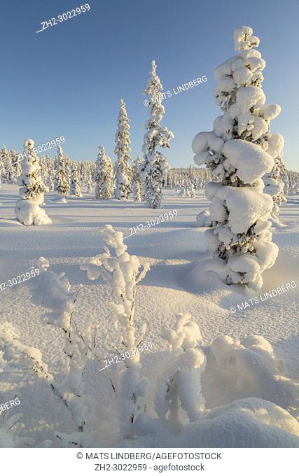 Winter landscape in clear blue sky with snowy trees, Gällivare county, Swedish Lapland, Sweden
