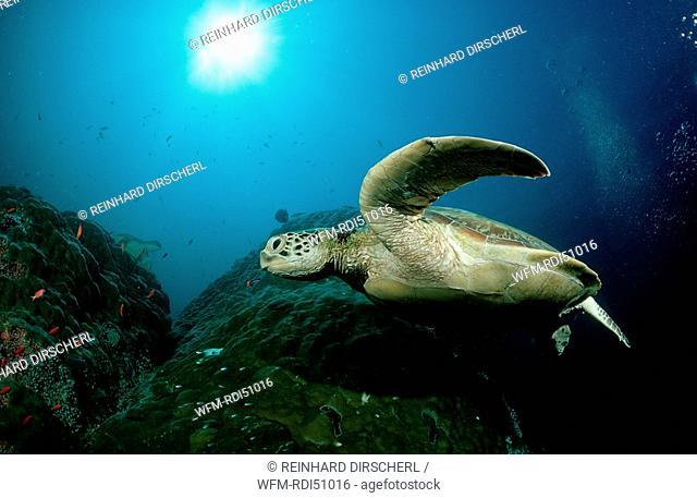 Green sea turtle green turtle, Chelonia mydas, Pacific ocean Borneo Sipadan, Malaysia