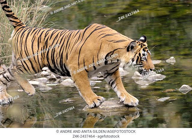 Bengal Tiger (Panthera tigris tigris) crossing water by walking over stones, Ranthambhore national park, Rajastan, India