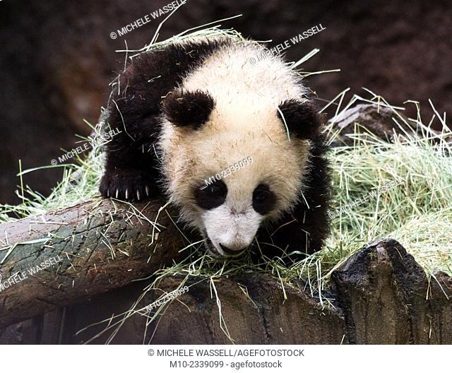 A young Giant Panda climbing onto a log