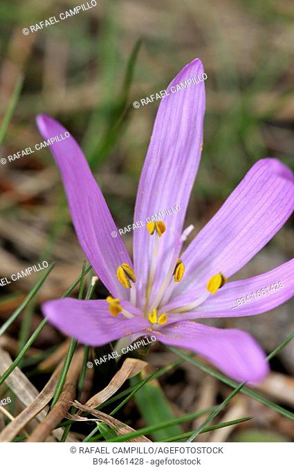 Colchicum autumnale, commonly known as autumn crocus, meadow saffron or naked lady (fam. Colchicaceae). Osseja, Pyrenees-Orientales, Languedoc-Roussillon