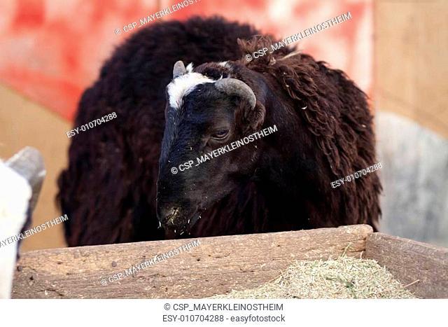 Sheep buck
