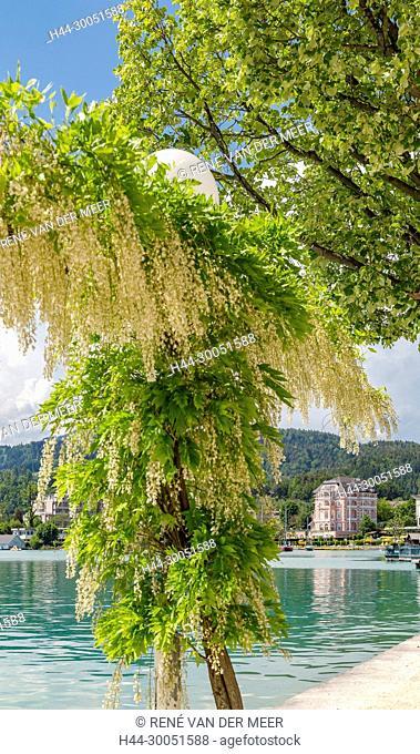 A laburnum in bloom at thebank of a lake, Pörtschach am Wörthersee, Österreich Austria