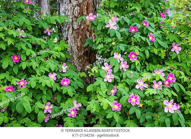 Wild roses in the mountain forests near Canmore, Alberta, Canada