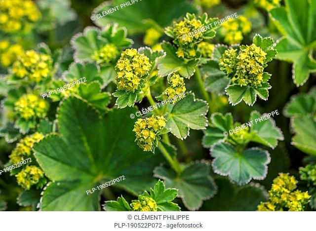 Lady's Mantle (Alchemilla splendens) in flower