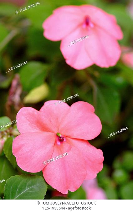 Pink Impatiens in flower close up, England, UK