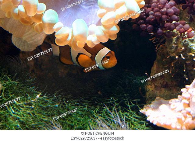 A Common Clownfish hiding - Amphiprion ocellaris