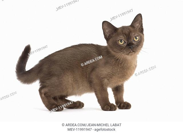Burmese Cat, kitten in the studio