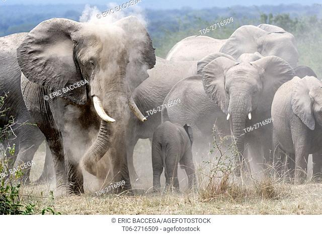 African elephant herd taking a dust . bath (Loxodonta africana) Queen Elizabeth National Park, Uganda, Africa