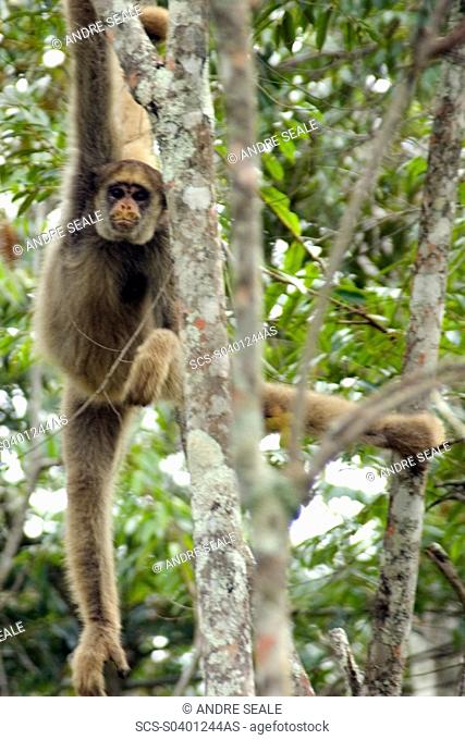 Northern muriqui, Brachyteles hypoxanthus, the largest monkey of the Americas and critically endangered, Feliciano Abdalla Private Reserve, Caratinga