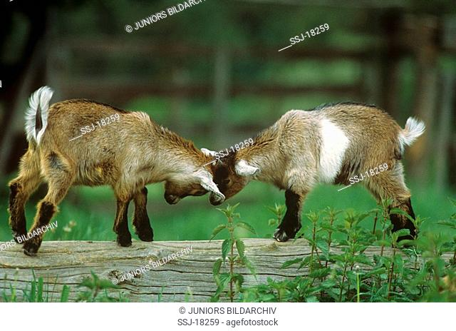 two young pygmy goats - fighting