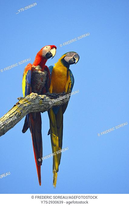Two Macaw Parrots,Aviario National de Colombia,Isla Baru, Colombia, South America