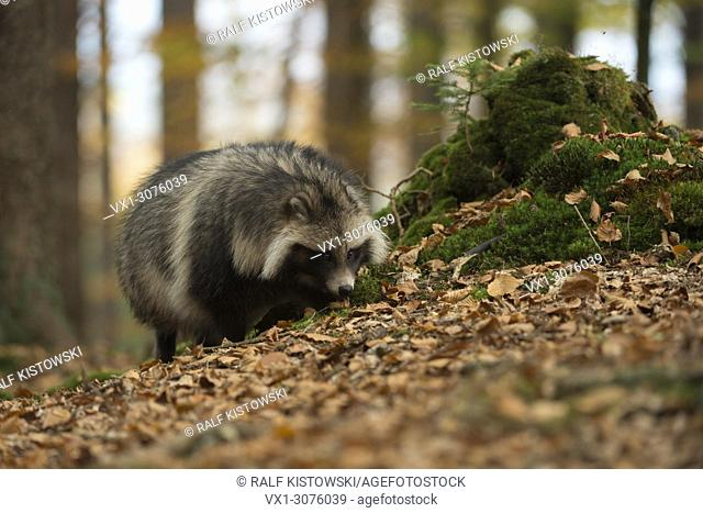 Raccoon Dog ( Nyctereutes procyonoides ), excellent sense of smell, walks through dry leaves, frontal side view, invasive species, Europe