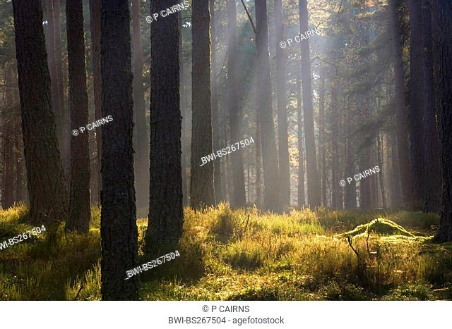 Autumnal dawn in pine forest, United Kingdom, Scotland, Cairngorms National Park