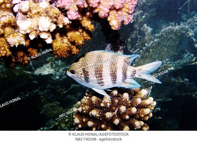 Scissortail Sergeant Abudefduf sexfasciatus swimming between the corals in Red Sea - Near Marsa Alam / Egypt