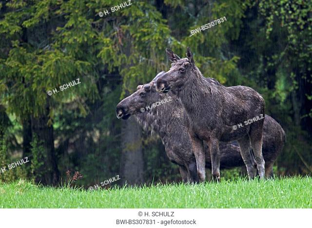 elk, European moose (Alces alces alces), bulls with velvet antler and a doe standing side by side in a meadow at a forest edge, Sweden, Vaestergoetland