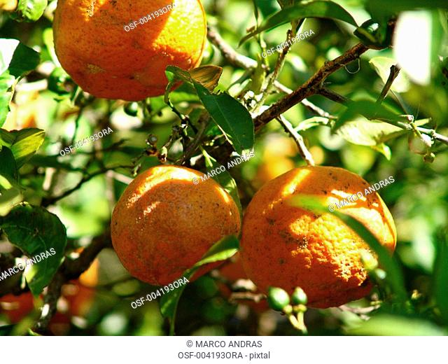 orange tree plant crop agriculture