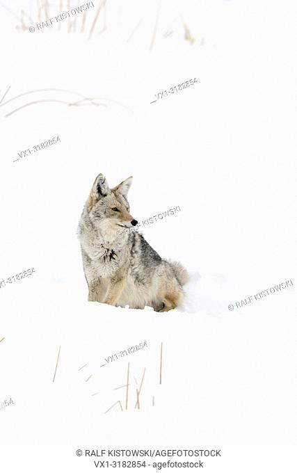 Coyote ( Canis latrans ), adult in winter, sitting in deep snow, watching aside attentive, with pointed ears, Yellowstone NP, Wyoming, USA.