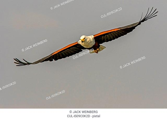 African fish eagle flying mid air, front view, Kruger National Park, South Africa