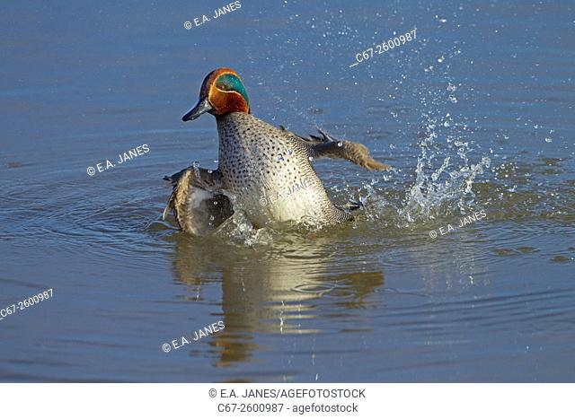 Teal Anas crecca Drake bathing in coastal creek at Titchwell Norfolk