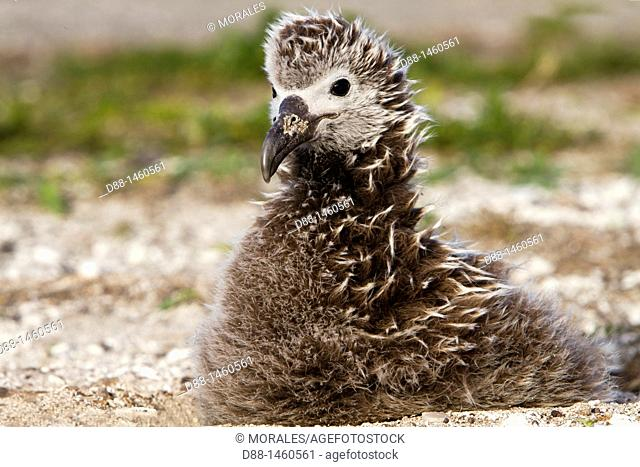 Laysan Albatross (Phoebastria immutabilis), young, Sand Island, Midway Atoll National Wildlife Refuge, Hawaii, USA