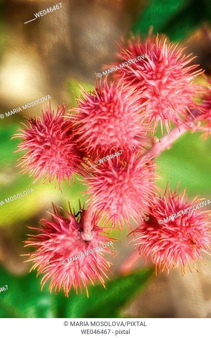 Castor Oil Plant Seedheads. Ricinus communis, August 2004. Maryland, USA