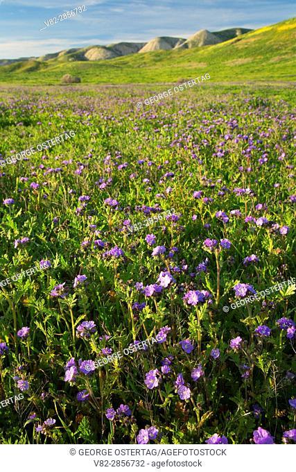 Phacelia, Carrizo Plain National Monument, California
