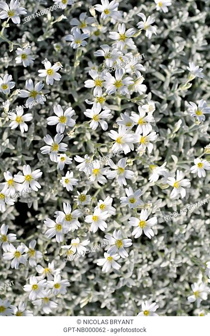 SNoW-IN SUMMER CERASTIUM TOMENTOSUM, A LOW SPREADING PLANT FLOWERING IN SPRING, SOMME 80, FRANCE