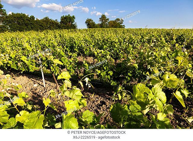 Vines growing in the Borderies region of Cognac