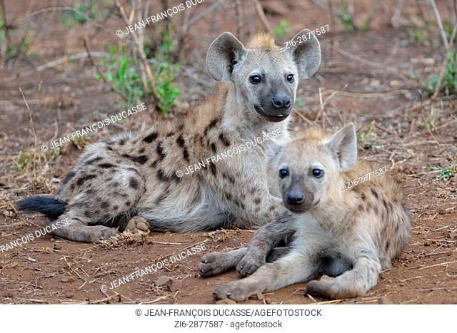 Spotted hyenas or Laughing hyenas (Crocuta crocuta), lying, facing camera, Kruger National Park, South Africa, Africa