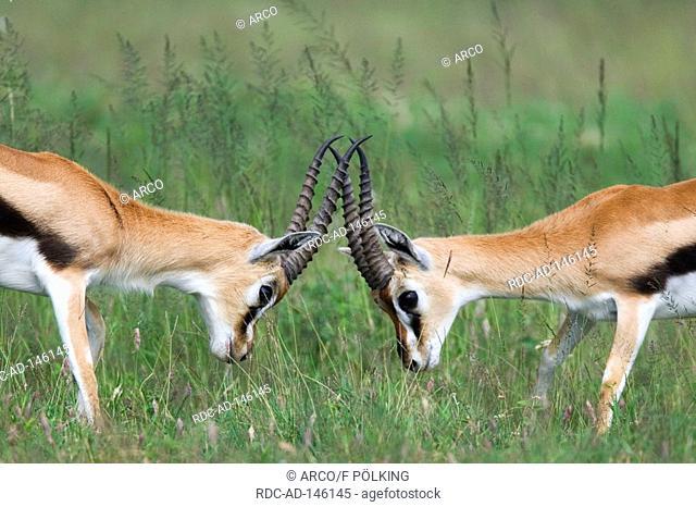 Thomson's Gazelles males Serengeti national park Tanzania Gazella thomsoni Red-headed Agama
