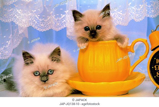 Himalayan kitten and Birman kitten.
