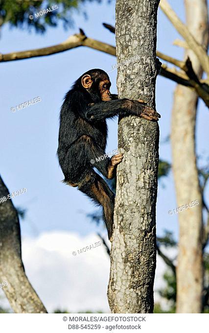 Chimpazee (Pan troglodytes)